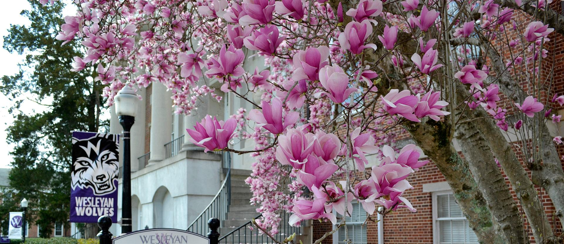 Tulip tree with pink blooms in foreground with Candler building in background.