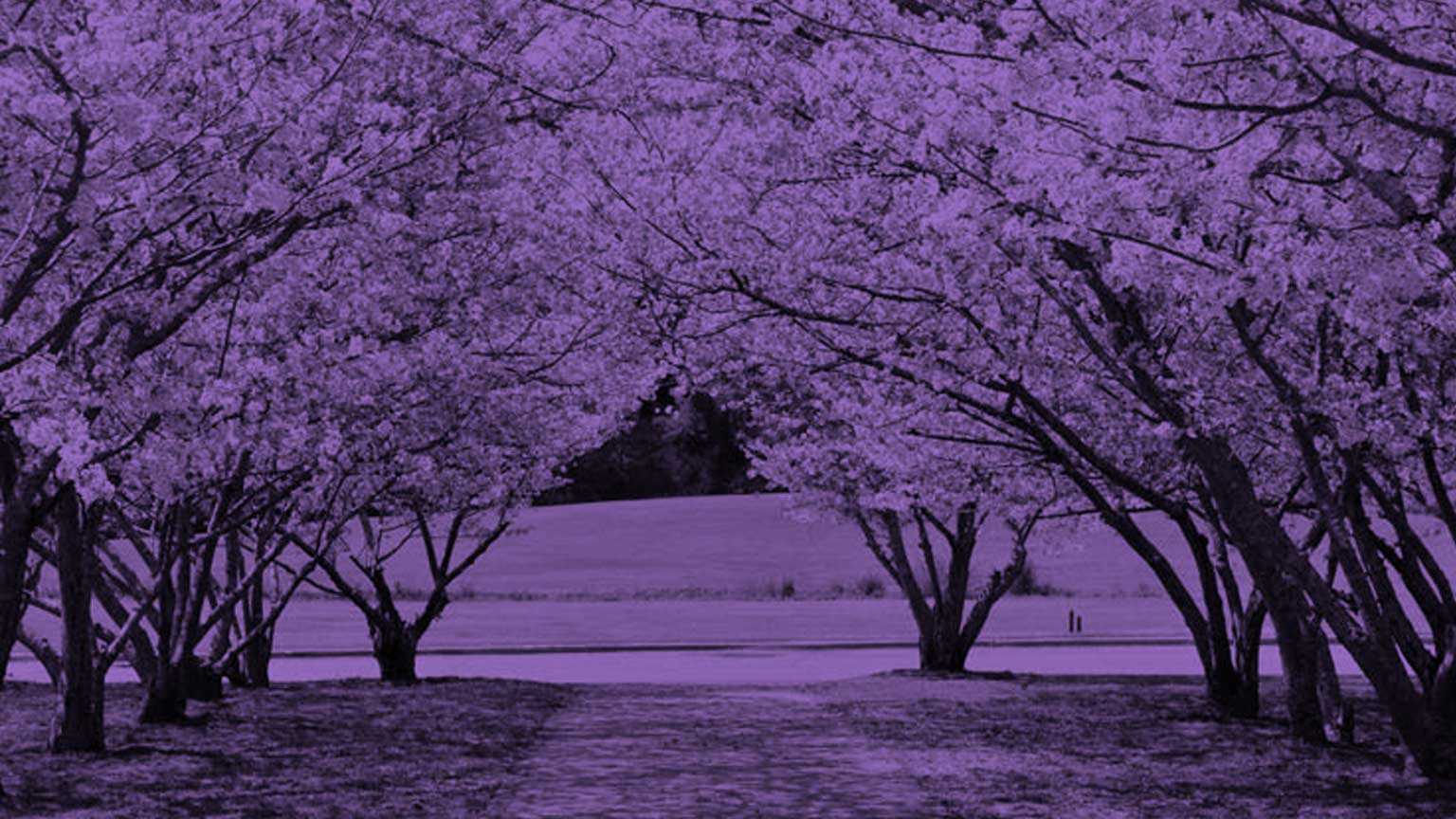Cherry Blossom trees blooming with purple filter.